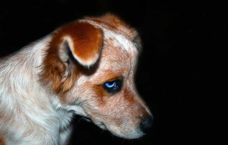 """""""Blue Eyed Devil"""" Australian Shepherd  Blue Eyed Dog Blonde Australian Shepherd Buff Aussie Dog Buff Australian Shrpherd"""