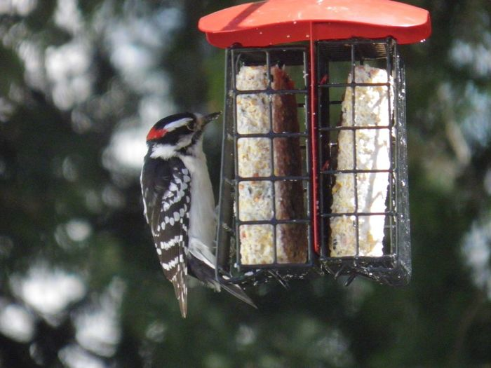 Woodpecker perched on the suet feeder closeup focus on the foreground birds of EyeEm beauty in nature Bird Animal Themes One Animal