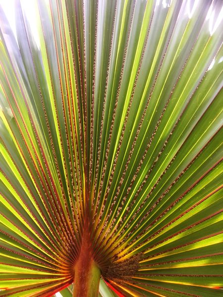 Bismarckia nobilis Fan Palm Bismarckia Nobilis Botany Red Beauty In Nature Plant Growth Nature Leaf No People Palm Leaf Natural Pattern Green Color Palm Tree Pattern