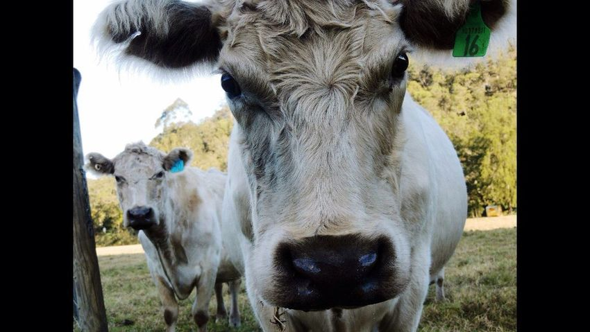 Domestic Animals Animal Themes Cow Looking At Camera Portrait Livestock Tag Animal Nose Moo