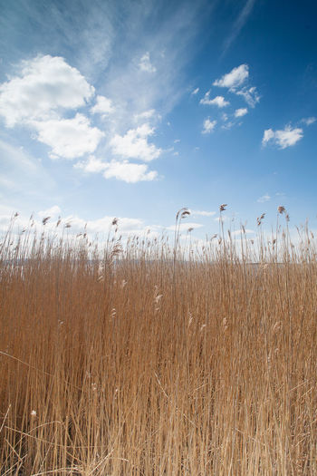 Dry grass against sky