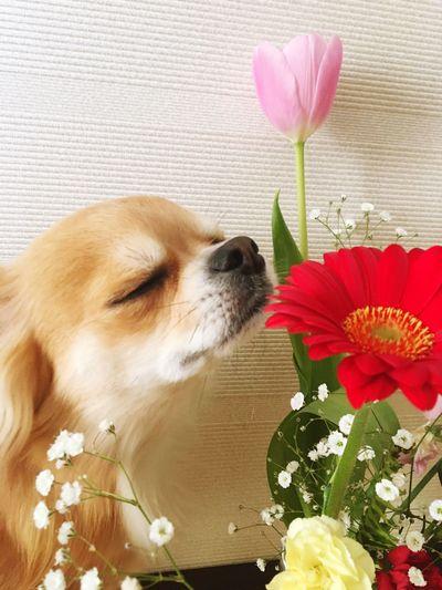 Flower One Animal Tulip Pets Animal Themes Petal Pink Color Leaf No People Freshness Dog Beautiful Make You Coffee Chihuahua Love ♥ 2yearsold  Chihuahua Niko Good Night おやすみ