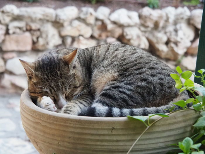 Israel Cat Cat Domestic Cat Feline Mammal Animal Domestic Animals One Animal Relaxation Animal Themes Eyes Closed  No People Resting Sleeping Focus On Foreground Whisker Nature Day