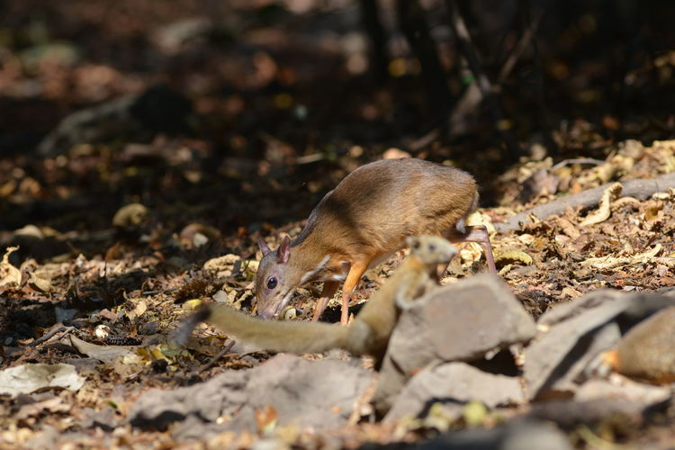 Mouse deer in nature lives in kaeng krachan thailand who are looking for food to eat naturally.