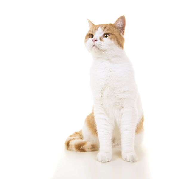 Red and white british short haired cat sitting and looking up on a white background Sitting Animal Animal Themes British Shorthair British Shothair Cat Cat Domestic Animals Feline Looking Up Pet Petal Pretty Purebred Cat Red And White White Background