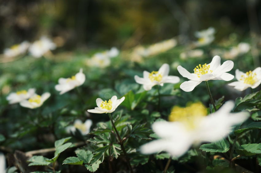 wood anemon Wood Anemone Anemone White Flower Wild Flower Wild Flowers Forest Nature Spring Springtime Spring Flowers Flower Head Flower Leaf White Color Close-up Plant In Bloom Flowering Plant Blooming Plant Life Botany