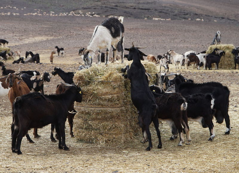 goats 1 Fuerteventura Goats Animal Themes Animal Wildlife Animals In The Wild Bird Day Domestic Animals Goat Cheese Grazing Large Group Of Animals Livestock Mammal Nature No People Outdoors Standing