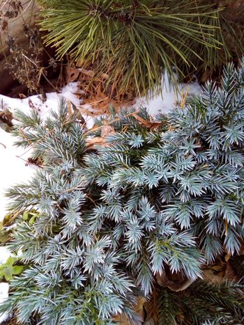 Winter is coming soon! Plant Ever Green Cold Temperature Tree Close-up Needle Coniferous Tree Coniferous Trees Coniferous Winter Nature Day No People Outdoors Beauty In Nature Snow Needles