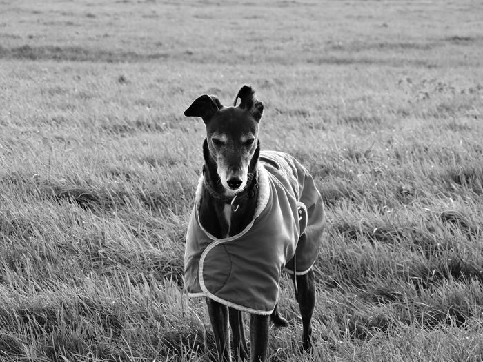 Greyhound covered with blanket on grassy field