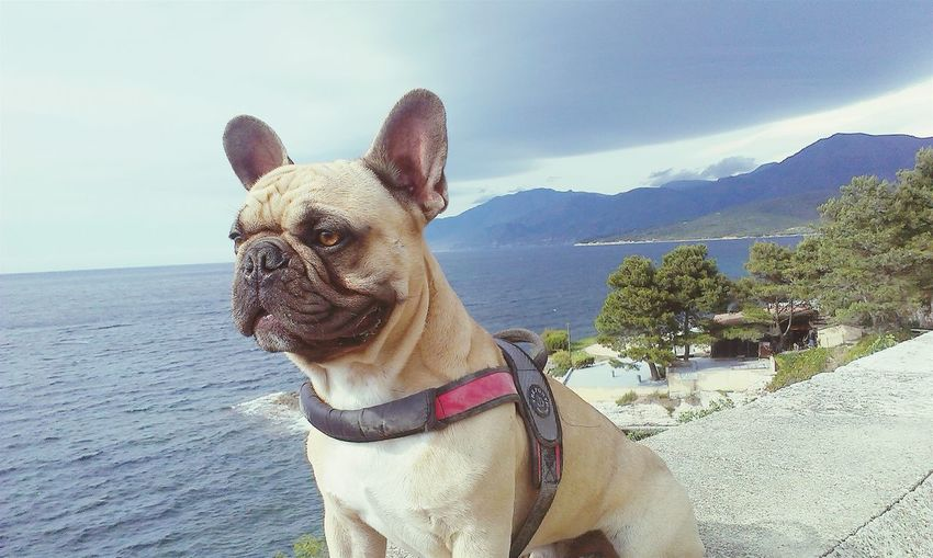 Frenchbulldog Smile Animals Cute Pets Taking Photos RePicture Travel Sunny