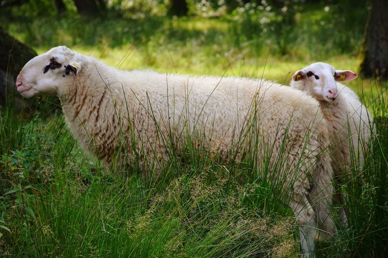Two sheep on field
