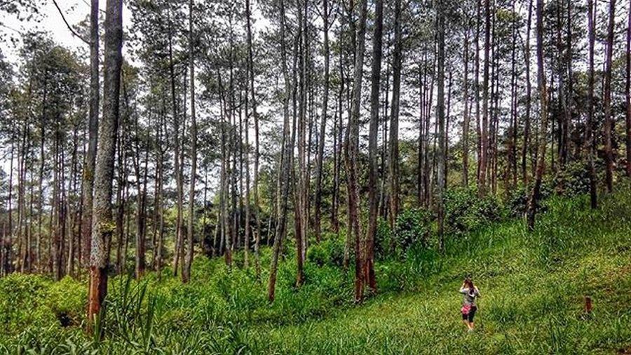 Melangkah diantara pepohonan Trekking Jalandihutan Jayagiri Lembang Woods Pinetrees Infokbb Explorebandung Bandungbarat Dheayodiansyah