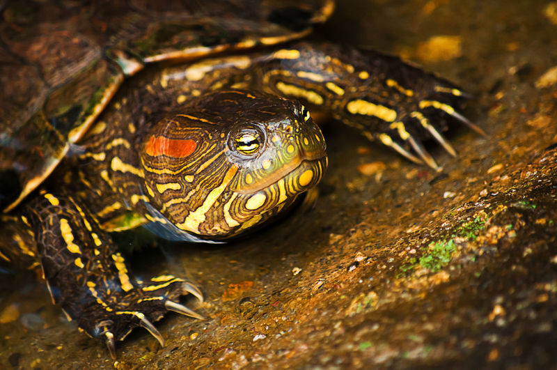 Close-up of red eared slider turtle