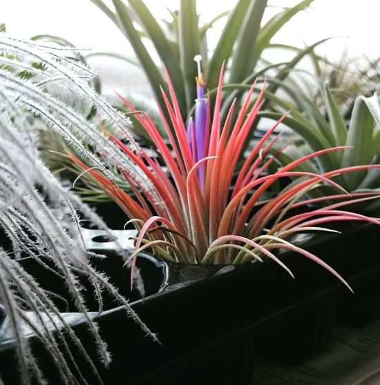 Plant Nature Flower Close-up Beauty In Nature Botany Fragility Leaf Growth Tillandsia Bloom Blooming Blooming Flowers Air Plant Outdoors Tillandsia Ionatha No People Freshness Day First Eyeem Photo
