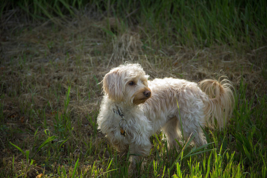 On high alert Alertness Animal Animal Hair Animal Themes Dog Domestic Animals Field Grassy Outdoors Pet Puppy Yorkiepoo Young Animal