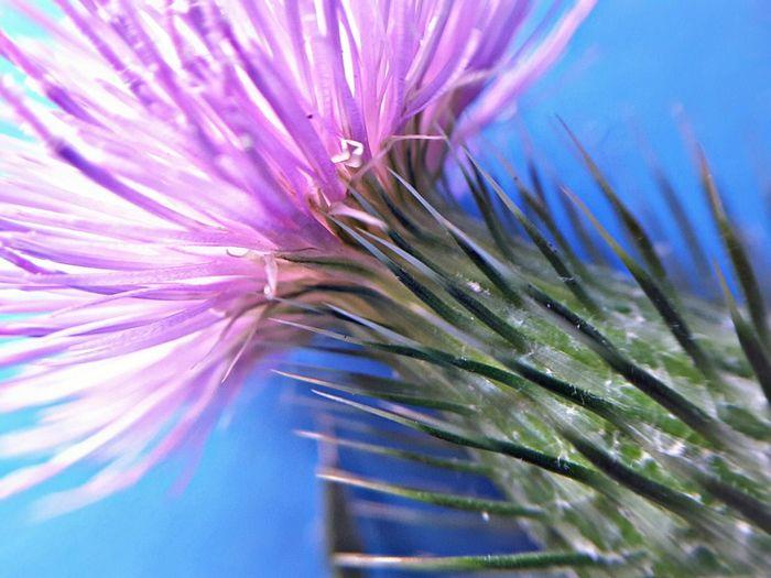 Chardon Flower