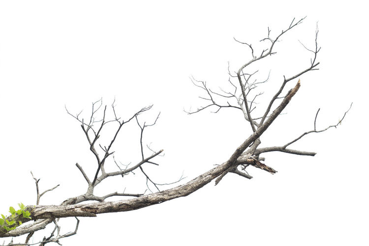 Branches of dead trees Bare Death Green Wood Bare Tree Branch Dead Dead Plant Dry Growth Isolated Old Outdoors Tree White