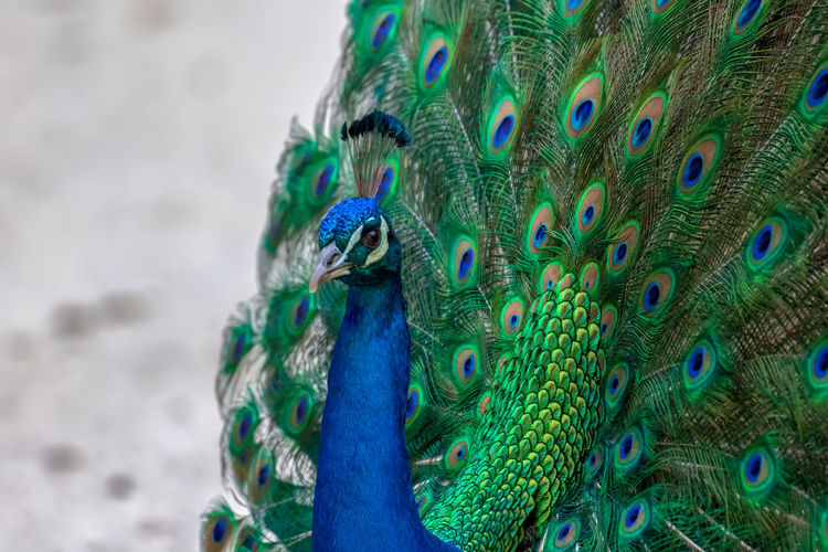 Feather  Peacock Peacock Feather Animal Animal Themes Multi Colored Close-up Bird Pattern Animal Wildlife One Animal No People Blue Day Animals In The Wild Natural Pattern Vertebrate Nature Green Color Beauty In Nature Ornate Animal Head