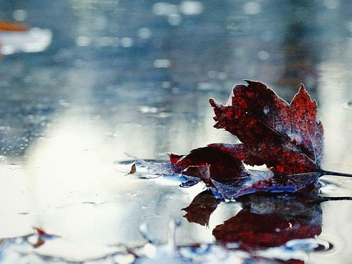 Pastel Power Leaf In Puddle Eyeem Michigan EyeEm Nature Lover Leaf Red Leaf