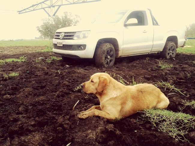 Homero Dogstagram Dog Pet VW Volkswagen Amarok Countrylife