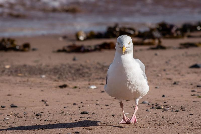 Seagull on sand at beach