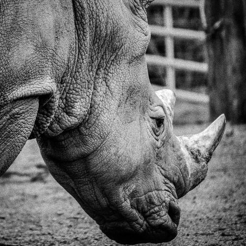 Close-up of rhinoceros on field at zoo