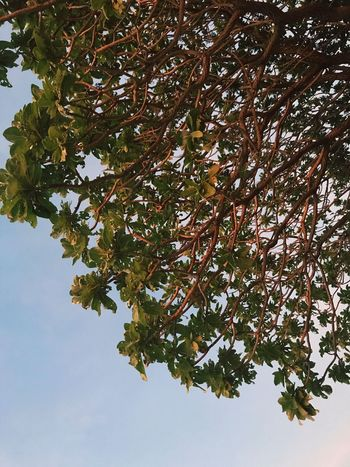 View from below the tent Sunset Foliage Tree Beach Calaguas Tree Nature Low Angle View Day Leaf Beauty In Nature Growth Branch No People Adventure Outdoors Sky Freshness