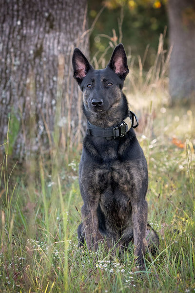 Dutch Shepherd sitting outside near a tree Dutch Shepherd Police Dog Sitting Canine Companion Dog Dog K9 Working Dog