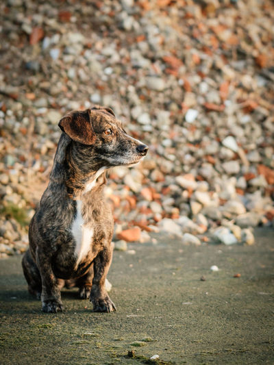Dog sitting looking to the right Pet Portraits Animal Themes Canine Dachshund Dog Focus On Foreground Full Length Golden Hour Looking Looking Away Mammal Nature No People One Animal Pets Sitting