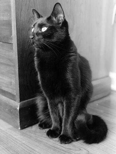Raven Blackandwhite Pet Cat