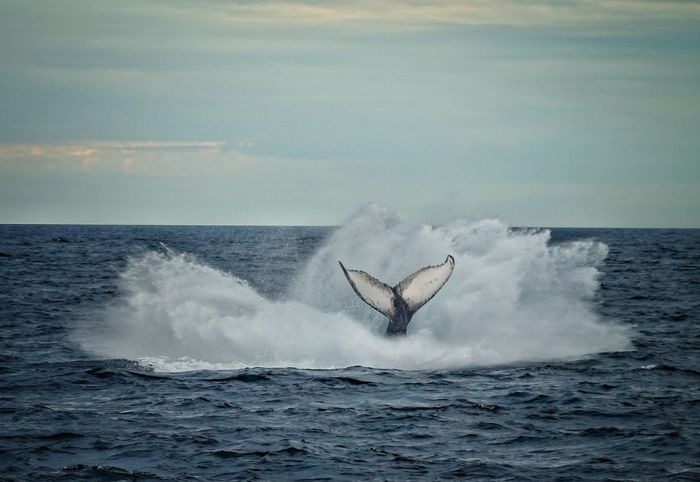 Whale tail Whale Watching Whale Whales Sea Ocean Blue Sea Ocean East Coast East Coast Beauty Humpback Whale Whale Sea Life Animal Fin Sea Motion Water Horizon Over Water Tail Fin Splashing Tail High-speed Photography Aquatic Mammal