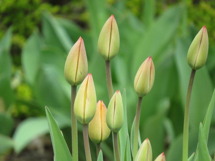 Tulip Plant