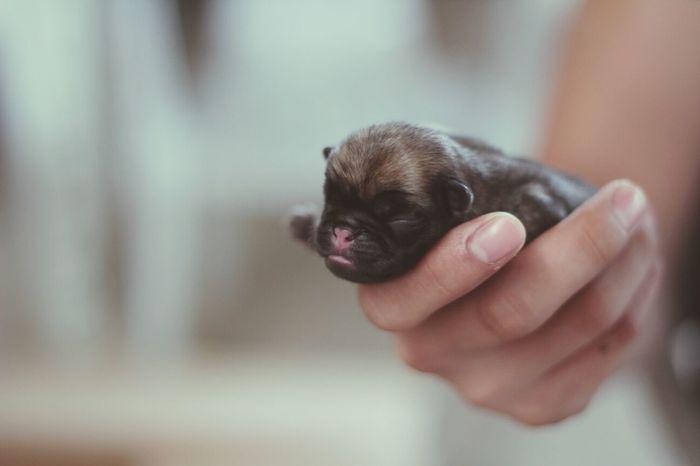 Pug Love Baby Pug New Born Photography Cute Puppy