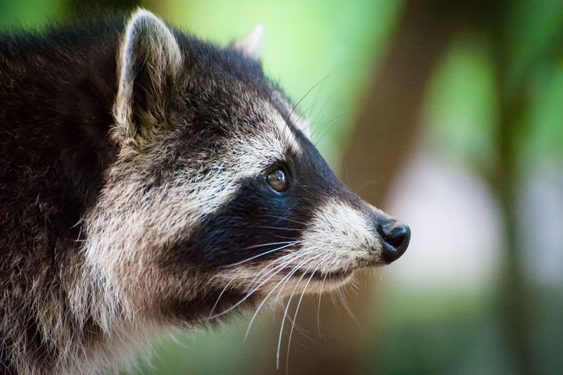 Close-Up Of Racoon