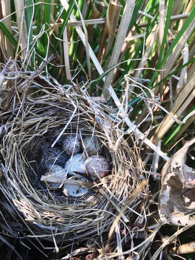 Nested Young Bird Bird Nest Animal Themes Animals In The Wild High Angle View No People Beginnings Animal Wildlife Nature Outdoors Day Bird Close-up Hay New Life Young Animal