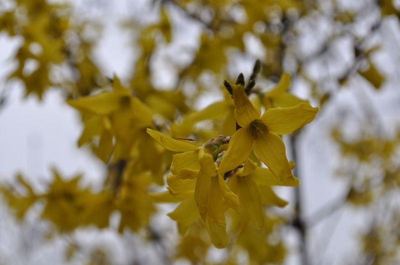 Beauty In Nature Close-up Day Flower Flower Head Flowering Plant Focus On Foreground Forsythia Flowers Fragility Freshness Growth Inflorescence Nature No People Outdoors Petal Plant Selective Focus Springtime Vulnerability  Yellow