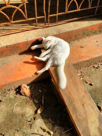 Goa HDR Feline Domestic Animals Pets Domestic Cat Animal Themes Goatrip Vacations Travel Destinations Sunbathing Sunbathing☀ India Whitecatphotography White Cat