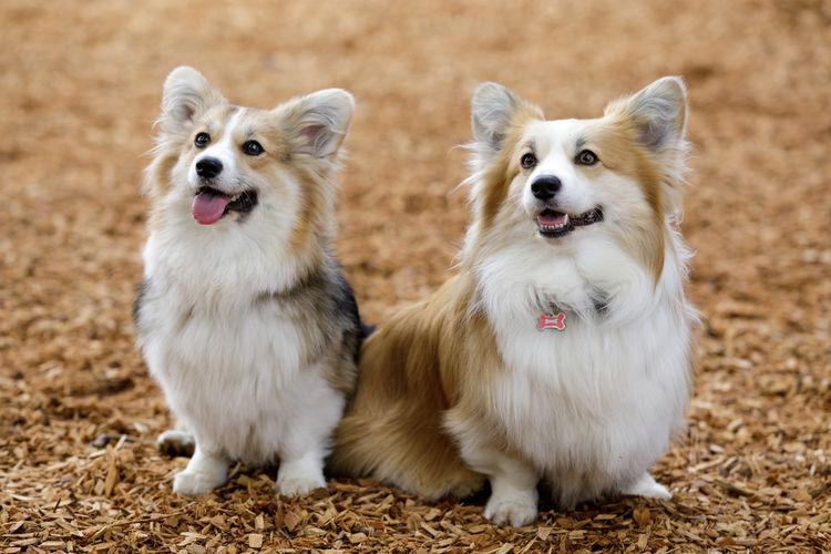 Two trained pembroke welsh corgi females puppies