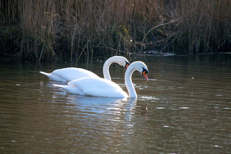 Two white swans swimming