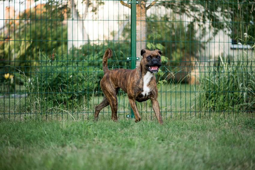 Dog Canine Boxer Boxer Dogs Brown Brown Dog German Running One Animal Animal Themes Pets Domestic Domestic Animals Mouth Open Grass Green Portrait Beautiful Cute Pretty Adorable Outdoors Mammal Animal Looking