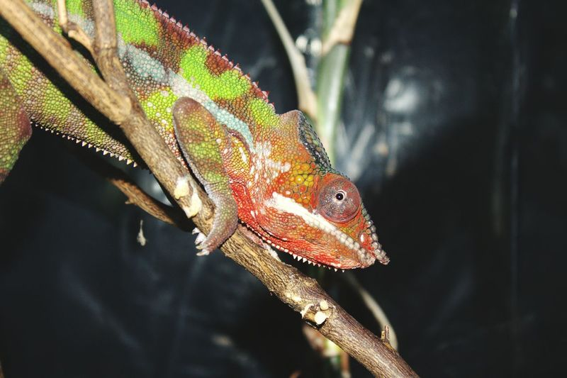 One Animal Animal Themes Animal Wildlife Reptile Bird Animals In The Wild Chameleon Close-up Lizard No People Day Indoors  Cage Perching Chameleons