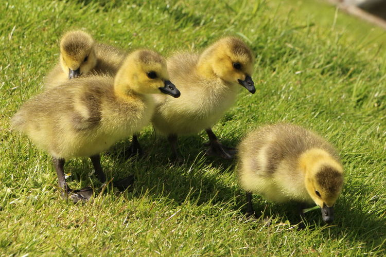 Grass Young Animal Animals In The Wild Gosling Animal Themes Nature Animal Wildlife Water Bird No People Four Baby Geese Four Little Ducks Gosling