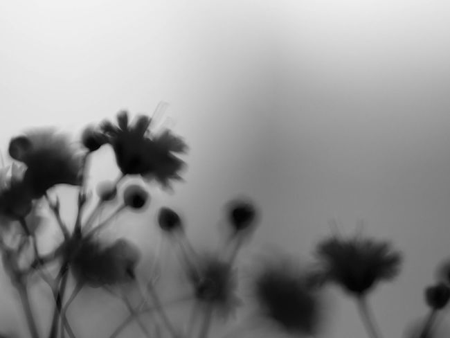 Nature Blackandwhite Light And Shadow Monochrome Bw_collection EyeEm Nature Lover Shillouette かすみ草 Flowers Flowerporn Simplicity