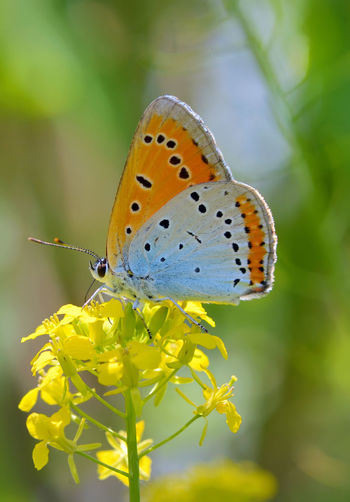 Animal Themes Animal Wildlife Animals In The Wild Beauty In Nature Blossom Butterfly Butterfly - Insect Close-up Common Blue Day Flower Fragility Freshness Insect Nature No People One Animal Outdoors Perching Plant Pollination POLYOMMATUS ICARUS Summer Yellow