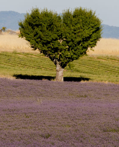 Lavender fields in Valensole Flowering Lavender Field Provence Provence Alpes Cote D´Azur Provence-Alpes-Cote D'Azur Tree Flower Lavender Lavender Colored Lavenderflower Nature Outdoors Valensole Violet