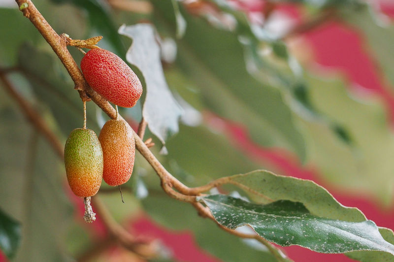 Closeup of autumn olive fruits, eleagnus multiflora, become orange when rip.japanese goumi -