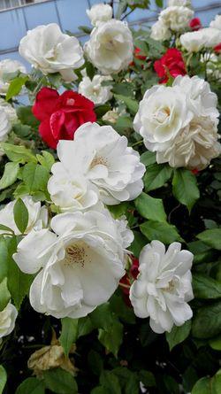 This Is Where I Live... Flower Beijing Honor6 Flowers Life In Beijing 生活中处处皆有美丽。