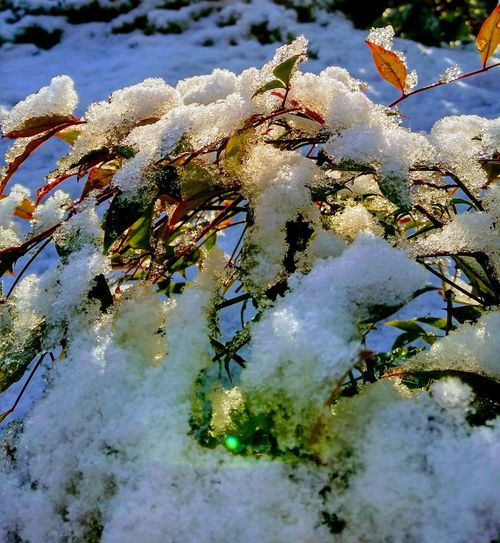 Snow Ice Bushes White Color Green Color Nature Winter No People Beauty In Nature Outdoors Day Close-up