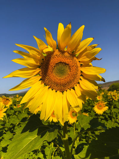 Close-up of sunflower on field against clear sky