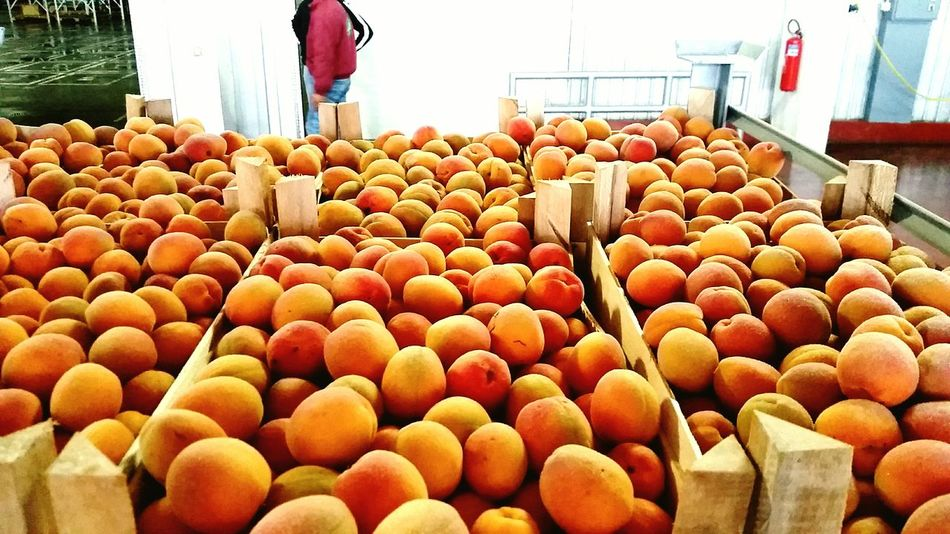 Food Food And Drink Healthy Eating Freshness Indoors  Large Group Of Objects No People Abundance Fruit Day Close-up Ready-to-eat Fruits ♡ Apricot Apricotworld Apricot Color Factories Fruit Factories Serbia Frozen Food Frozen Fruit Freshness Love For Life Food Stories